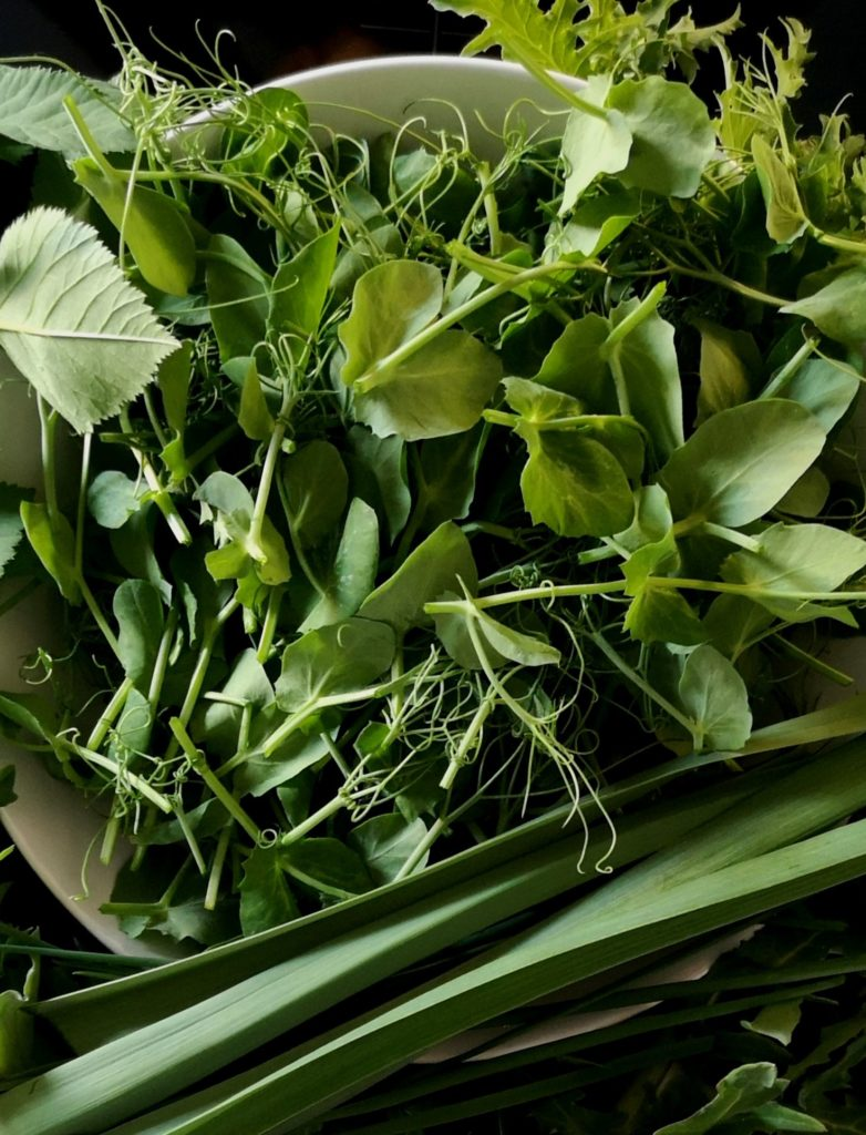 Harvested Pea Shoots and Greens for Pea Shoot Pesto