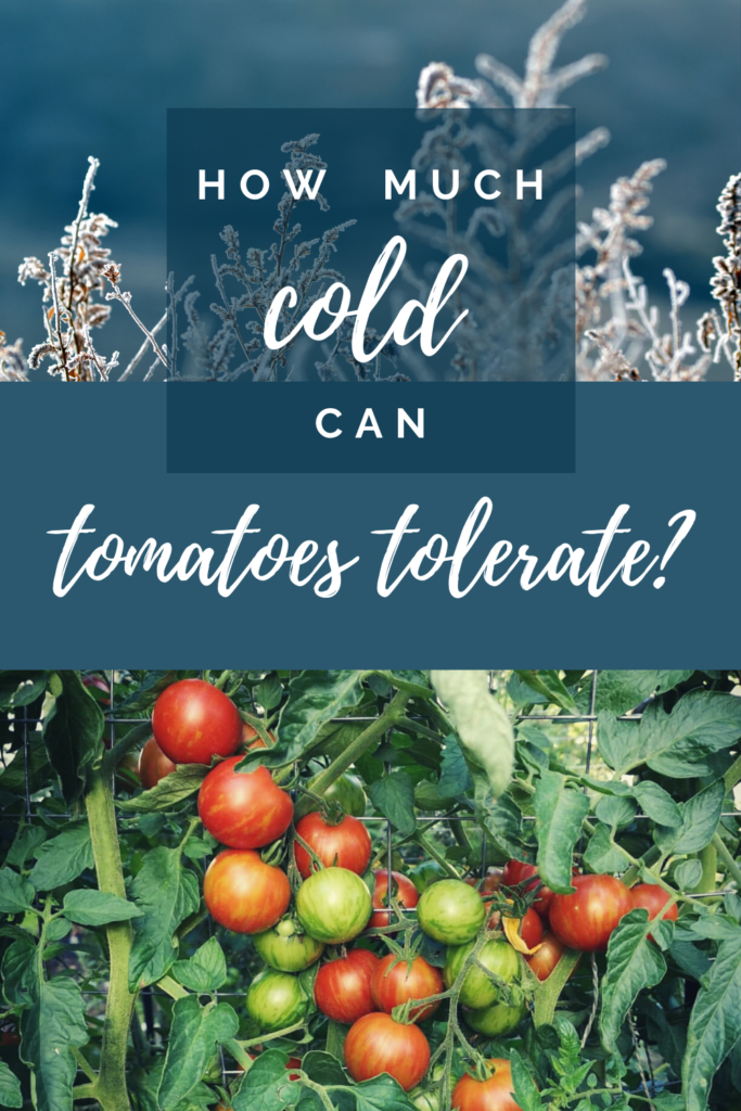 tomato cold tolerance - how much cold can tomatoes tolerate