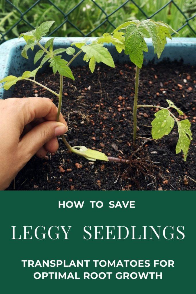 Save leggy seedlings - Pinterest