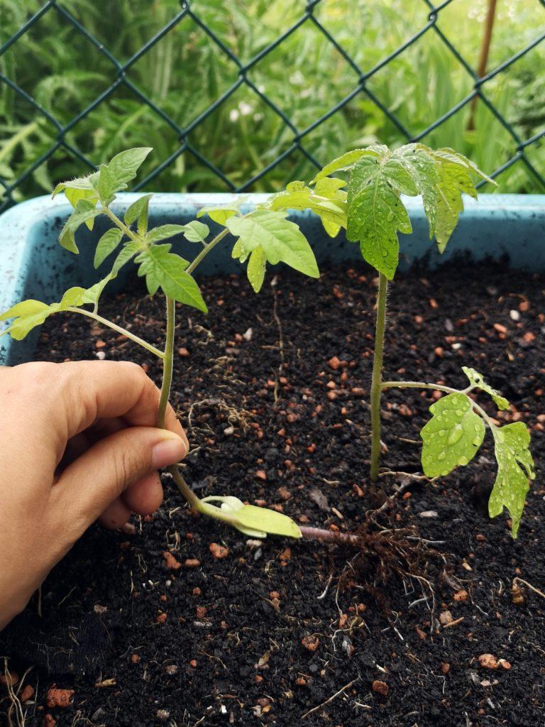 Save leggy tomato seedlings