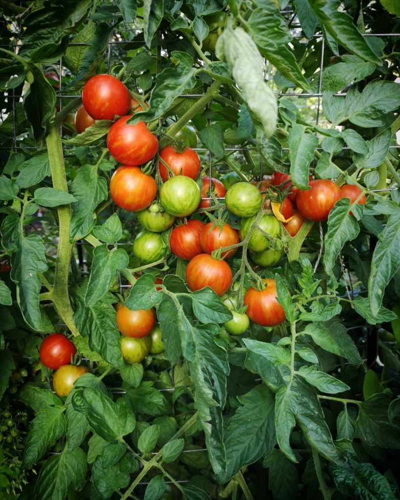 healthy tomato fruit set - how much cold can tomatoes tolerate?