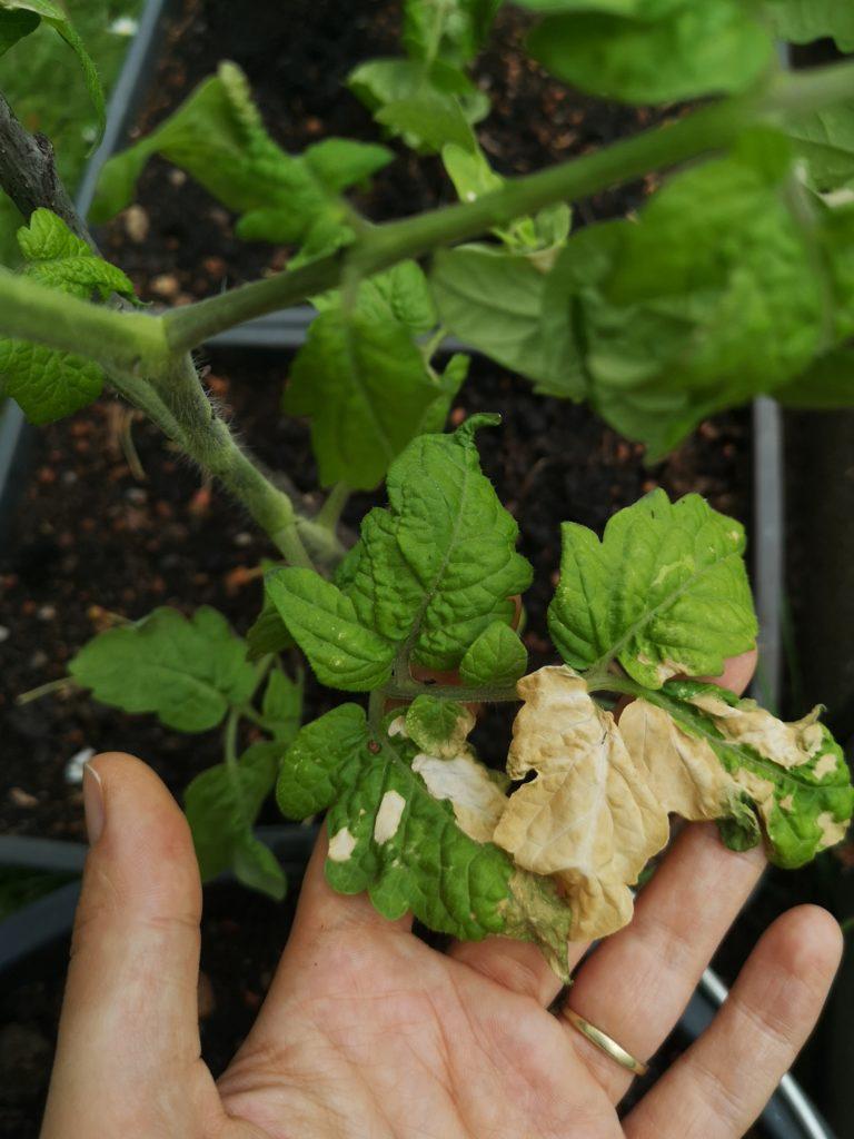 sunburn on tomato leaf